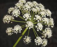 Angelica lineariloba