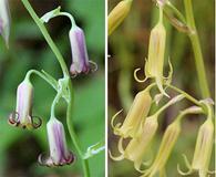 Anticlea occidentalis
