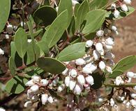 Arctostaphylos manzanita