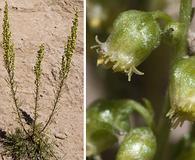 Artemisia campestris