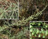 Artemisia palmeri