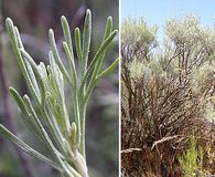 Artemisia tripartita