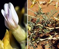 Astragalus albulus