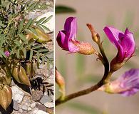 Astragalus allochrous