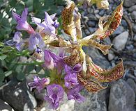 Astragalus beckwithii