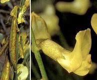Astragalus convallarius