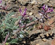 Astragalus malacus