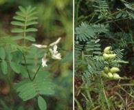 Astragalus neglectus