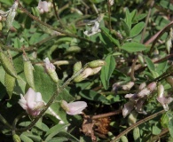 Astragalus robbinsii