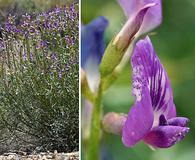 Astragalus serenoi