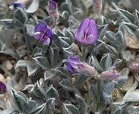 Astragalus sericoleucus