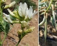 Astragalus sinuatus