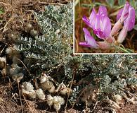 Astragalus utahensis