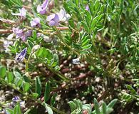 Astragalus vexilliflexus