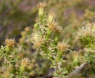 Baccharis pteronioides