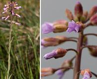Boechera pauciflora