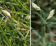 Bouteloua dactyloides