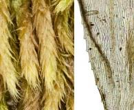 Brachythecium albicans