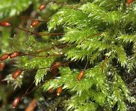 Brachythecium plumosum