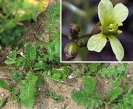 Brassica tournefortii