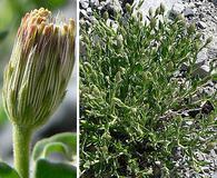 Brickellia oblongifolia