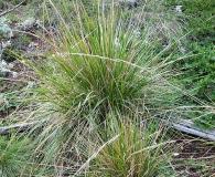 Calamagrostis nutkaensis