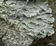Canoparmelia texana