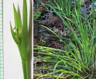 Carex backii