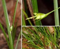 Carex basiantha
