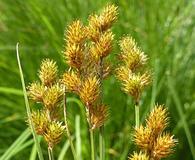 Carex bebbii