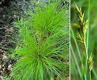 Carex bromoides