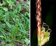 Carex communis