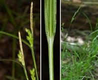 Carex corrugata
