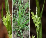 Carex crebriflora