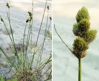 Carex cumulata
