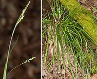 Carex digitalis