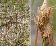 Carex duriuscula