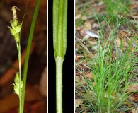 Carex godfreyi
