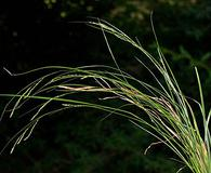 Carex gracillima