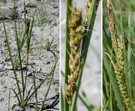 Carex halliana