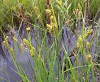 Carex haydenii