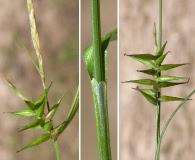 Carex lonchocarpa