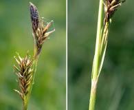 Carex luzulina