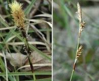 Carex richardsonii