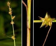 Carex ruthii