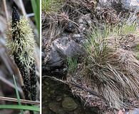 Carex senta