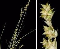 Carex seorsa