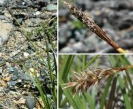 Carex serpenticola