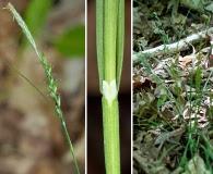Carex striatula