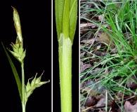 Carex styloflexa